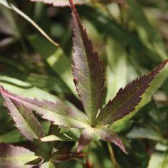 Erable Japonais Acer palmatum 'Villa Taranto'