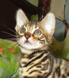 Bengal Kittens for sale in WV Photos of exitic show quality cats