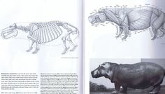 The hippo takes the rhino's squat load bearing physique and lowers it even more. HIppos and pigs share some physionomy. Notice the elongated neck and heavy head, the skull showing the typical flatness in the back for the neck musculature to hold it up. Hippos are heavy but surprisingly fast on their tiny feet.