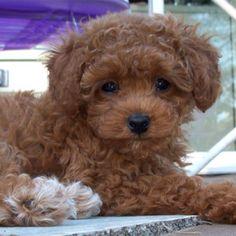 I want a teacup poodle