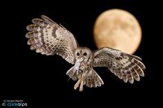 "Photo: THE EMBRACE | Strix aluco  ""when the day ends for some to others begin""  My Page: www.facebook.com/JACOPORIGOTTI90  #JacopoRigotti  #Clickalps  #Bird  #Tawniowl  #Allocco  #Nature  #Animal  #Woods  #Dolomiten  #Wildlife  #Highspeed  #Predator  #Stunningmoment  #fotomaniaitalia  #birdphotography  #birdsgallery  #birds4all  #birdsinflight  #fly  #night  #flash  #moon  #spring  #wings  #owl   +Nikon USA+Nikon Italia+Nikon Shooters+Manfrotto Imagine…"