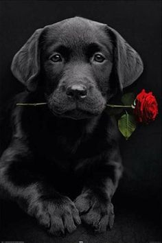 Mind Blowing Facts About Labrador Retrievers And Ideas. Amazing Facts About Labrador Retrievers And Ideas. Black Lab Puppies, Cute Puppies, Dogs And Puppies, Black Puppy, Black Labs Dogs, Schwarzer Labrador Retriever, Baby Animals, Cute Animals, Labrador Retrievers