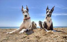 Te mostramos tres (3) razas de perros gigantes http://www.mascotadomestica.com/razas-perros/razas-de-perros-gigantes-con-fotos.html