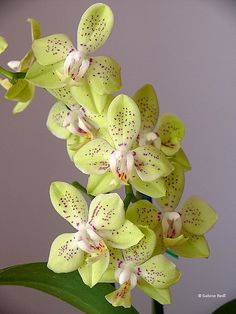 Phalaenopsis Green Pixie. #orchid