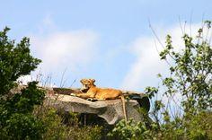 Leão em um kopje ou afloramento de rocha, no Parque Nacional do Serengeti. Tanzânia, África Oriental. Fotografia: Charles J. Afiada.  - Wikipédia, a enciclopédia livre.