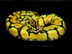 hate snakes, but it looks so cool