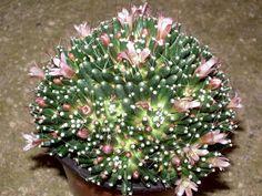 Mammillaria Painteri f.monstruosa
