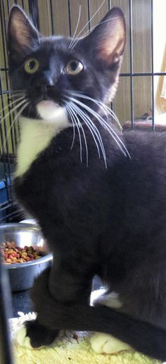 """HAPPY """"6-317"""" - URGENT - TOWN OF BABYLON ANIMAL SHELTER in West Babylon, NY - ADOPT OR FOSTER - 12 WEEK OLD Neutered Male Tuxedo Domestic SH"""