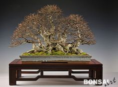 Image result for olive clump  bonsai