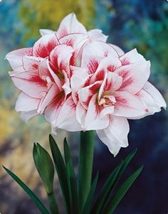 Hippeastrum 'Elvas' - Amaryllis www.vanbloem.com #vanbloemgardens #flowerbulbs…