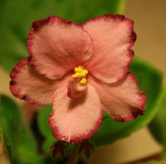 African Violet 'Ian Zabava' (Russian) - beautiful reddish orange color, rare compared to most AV colors
