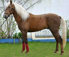 Purebred Lusitano performance horse. Described as chocolate - a term for a silver dapple tone - he is much more likely to be a dark sooty palomino. Silver dapple has emerged in Iberian horses but is so rare that only a handful of horses carry it.