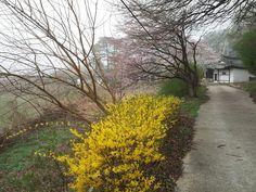 2014  asojae cherry blossoms & yellow forsythia