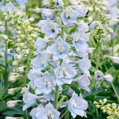 Pale Blue Delphinium Light Flowers Wedding Bridesmaid Bridal