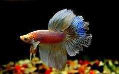Saw this betta picture on pinterest today. I love its coloration.