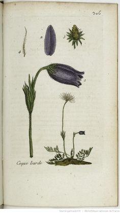 ANEMONE - Anemone pulsatilla. La pulsatille / La coquelourde / L'herbe de Pâques / La passe-fleur / Le teinœuf