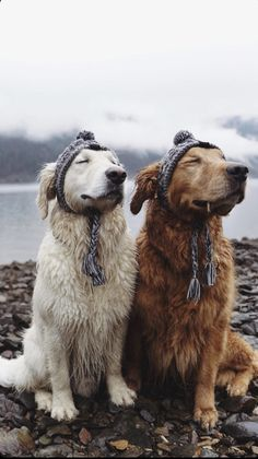 Golden Retriever Puppies Those are some happy doggo's! Cute Funny Animals, Cute Baby Animals, Funny Dogs, Animals And Pets, Funny Memes, Cute Dogs And Puppies, I Love Dogs, Doggies, Dog Life