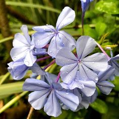 Plumbago, this plant is almost indestructible and flowers in high summer. What more do we want!