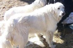 Thor (Diesel) is an adoptable Akbash Dog in Lavina, MT. Thor (Diesel) and his brother Loki (Harley) came into rescue following their owner's call to say she had just learned that she couldn't take the...