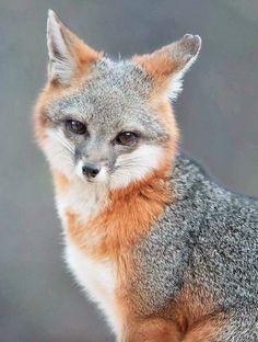 pinterest.com ⊰  magnifique photo du renard d´argent (silver fox) unknown photographer (collection animal canidae vulpes vulpes)