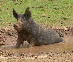 Kurobuta Pig Having a Rest in the Mud