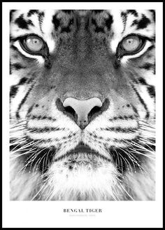 Black and white print with a photo of a tiger, looks nice in a picture wall. Shop prints online for a good price. We have many stylish posters and prints in our webshop. Desenio sells cleanly designed posters, prints and interior design details online. Desenio Posters, Tiger Photography, Poster Photo, Lion Poster, Poster Store, Gallery Wall Frames, Plakat Design, Black And White Posters, Black White