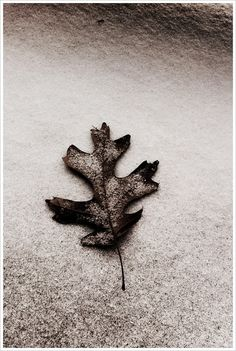 Shades of Winter #leaf #winter #snow #photo