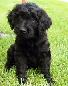 black goldendoodle puppies - Google Search