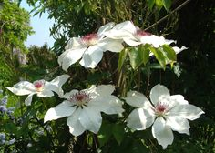White clematis in June