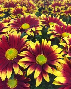 Good morning Fall!  . . . #mums #fall #autumn #flowerstagram #floweroftheday #botanicals #florist