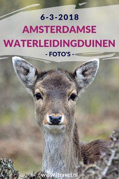 In maart 2018 maakte ik opnieuw een wandeling in de Amsterdamse Waterleidingduinen. Ik liep vanaf de ingang Panneland en ging opnieuw op zoek naar vossen en damherten. Ik heb deze dag verschillende vossen en damherten gespot en genoot van de schitterende natuur. Kijk je mee wat ik allemaal zag? #awd #amsterdamsewaterleidingduinen #vos #vossen #damherten #wandelen #hiken #natuur #jtravel #jtravelblog #fotos