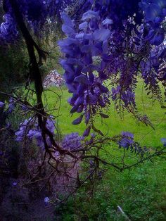Purple Passion by By bananajode - Jodee Markovich...I can smell the wisteria...