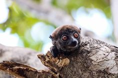 During our final part of the hike in Ankarana NP we came across this cute little guy! The sportive lemur - usually active at night but apparently this one didn't feel like sleeping 🙂. Follow @work.sleep.travel.repeat  #lemur #madagascar #safari #africa #hiking #dreamdestination #travel #traveling #vacation #visiting #instatravel #instago #instagood #trip #holiday #photooftheday #fun #travelling #tourism #amazingwildlife #beautiful #cute #nature #photography #tourist #instapassport… Lemur, Safari, Tourism, Blog, Wildlife, Hiking, Instagram, Cute, Aktiv
