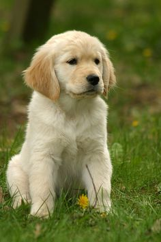 Golden Retriever Puppy | Flickr - Photo Sharing!
