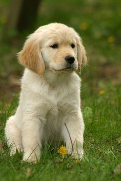 Golden cachorrito