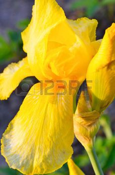 yellow iris flower on green background on the flowerbed photo