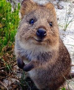 1000+ ideas about Quokka on Pinterest | Wombat, Baby wombat and ...