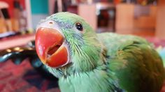 I rescued a baby Indian ringneck parrot 3 weeks ago here he is in all his cute glory today.