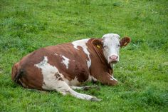 Relaxing by ChristianThür Photography on Creative Market Cows, Chill, Relax, Design Inspiration, Christian, Sculpture, Creative, Photography, Animals