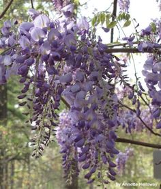 Wisteria at Newport News Park in VA (photo by Annette Holloway)
