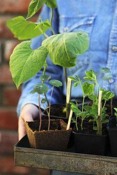 Jos kotonasi ei ole kasvihuonetta, voit perustaa ikkunalaudalle oman ikkunapuutarhan. Taimien kasvatus maksaa vaivan, kun kukkapenkki ja...
