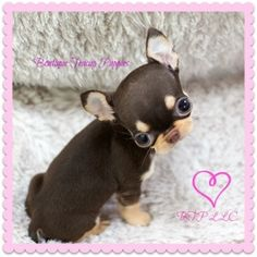 Adorable Tootsie Roll ~ Precious Micro Teacup Chocolate Tri Chihuahua! AVAILABLE!