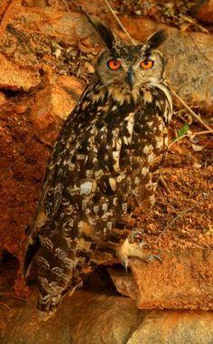 Indian Eagle Owl,  India