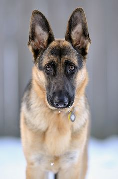 Beautiful German Shepherd. His eyes say it all.