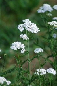 Zeit der Schafgarben Kraut, Dandelion, Flowers, Plants, Achillea, Sheep, Pictures, Dandelions, Plant