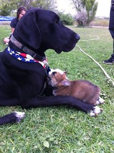 Corgi puppy chewing on Great Dane's bandana. Corgis have no concept of how small they are!