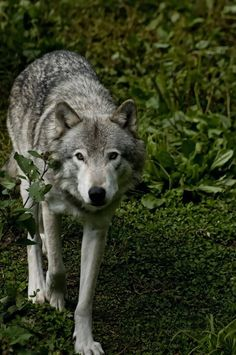 Wolf walking in the Forest