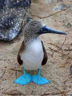 More Boobies! A Blue Footed Booby, Galapagos Islands. That guys little feet are my favorite color!   :) http://www.luxuryperu.travel/