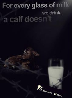 Cows produce milk for the same reason that humans do—to nourish their young—but calves born on dairy farms are taken from their mothers when they are just one day old and fed milk replacers so that humans can have the milk instead. http://milkiscruel.com/