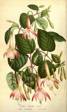 Fuchsia, var. Rosalba
